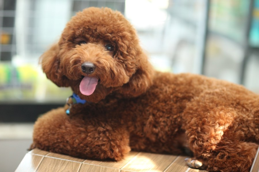 Poodle Dog Breeds - Complete Profile, History, and Care. https://www.petspalo.com