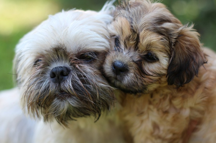 Shih Tzu Dog Breeds- Complete Profile, History, and Care. https://www.petspalo.com