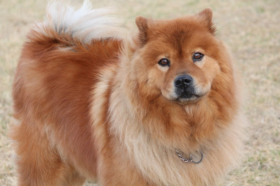 Chow Chow Dog Breed- Complete Profile, History, and Care. https://www.petspalo.com