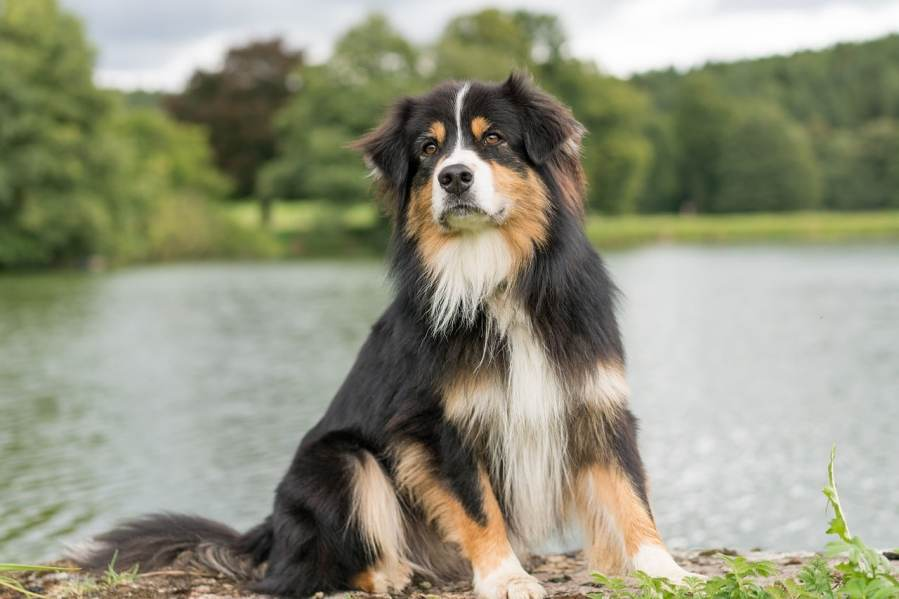 Australian Shepherd - Complete Profile, History, and Care. https://www.petspalo.com