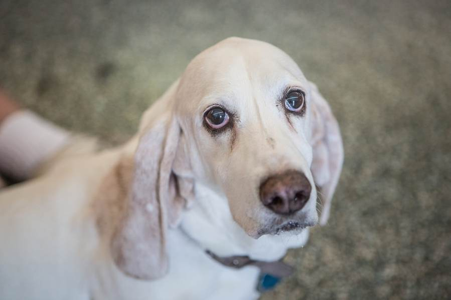 Basset Hound Dog Breed - Complete Profile, History, and Care. https://www.petspalo.com