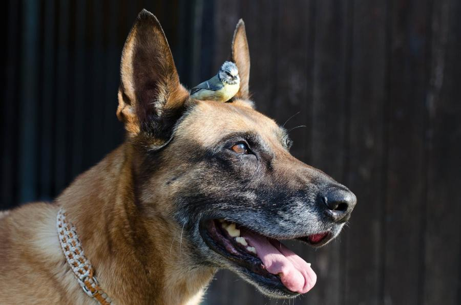 Belgian Malinois - Complete Profile, History, and Care. https://www.petspalo.com