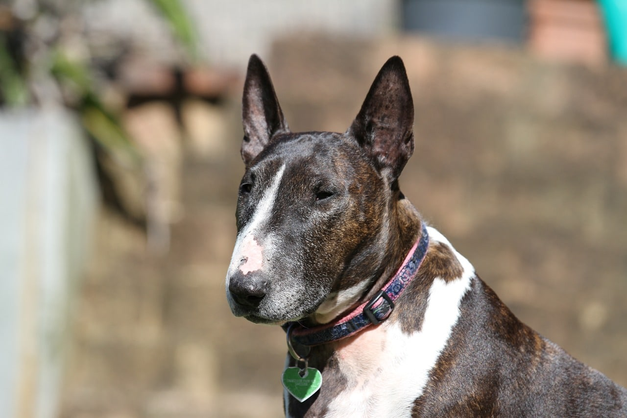 Bull Terrier Dog Breed - Complete Profile, History, and Care. https://www.petspalo.com