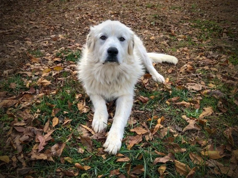 Great Pyrenees Dog Breed - Complete Profile, History, and Care. https://www.petspalo.com