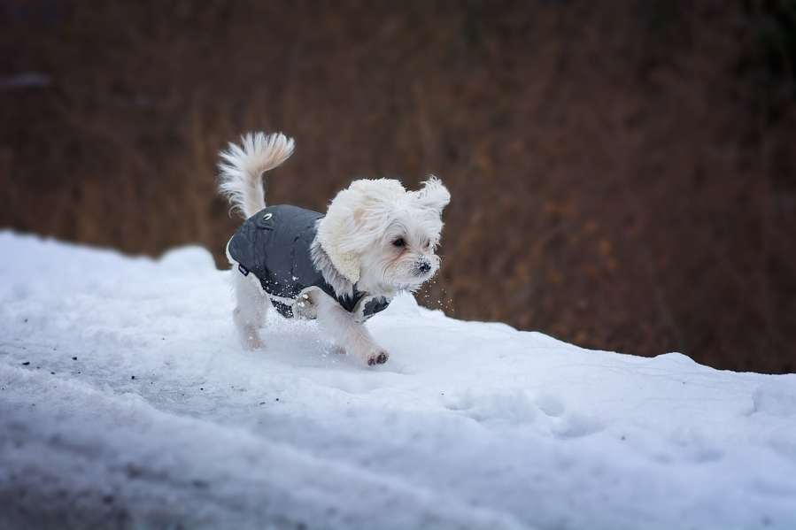 Maltese Dog Breed - Complete Profile, History, and Care. https://www.petspalo.com