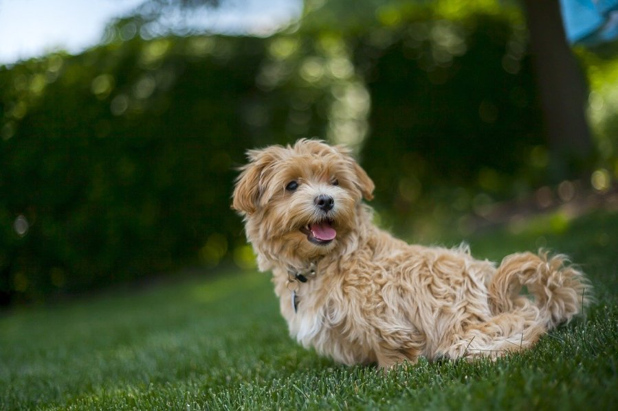 Maltipoo Dog Breed - Complete Profile, History, and Care. https://www.petspalo.com
