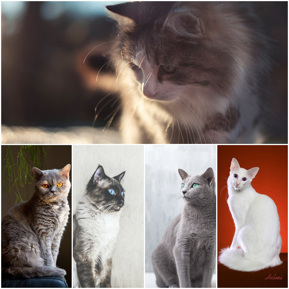 10 Best hypoallergenic cat Breeds in 2021. https://www.petspalo.com/