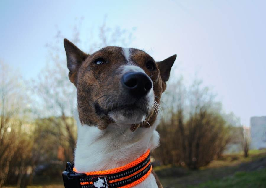 Basenji Dog Breed - Complete Profile, History, and Care. https://www.petspalo.com/