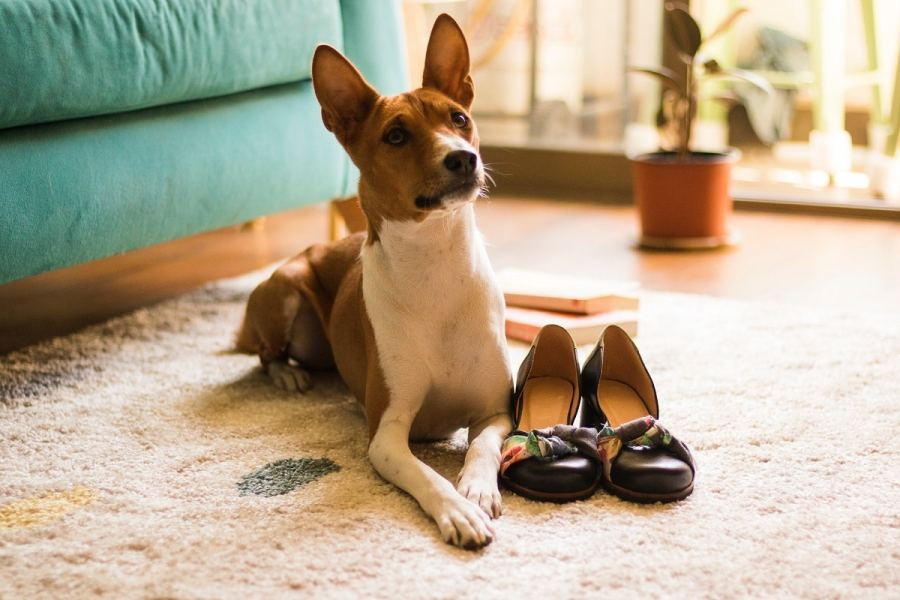 Basenji Dog Breed - Complete Profile, History, and Care. https://www.petspalo.com/