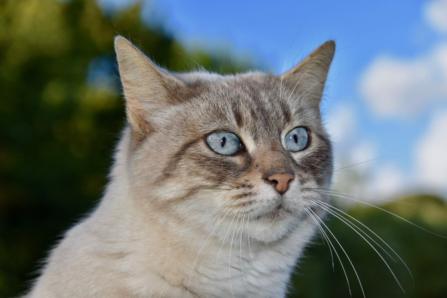European Shorthair Cat Breed – Complete Profile, History, and Care. https://www.petspalo.com/