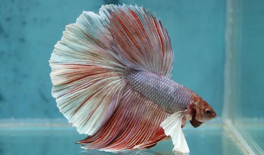 Betta fish sleeping