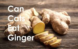 Can Cats Eat Ginger