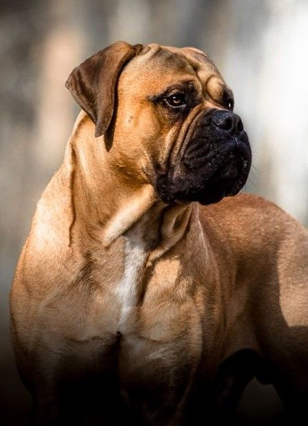 5 Most Dangerous Dog Breeds in the World