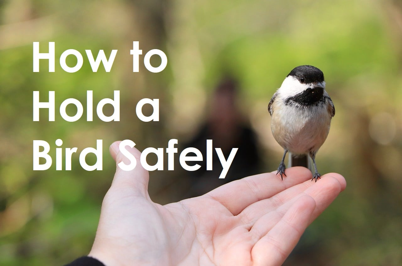 How to Hold a Bird Safely
