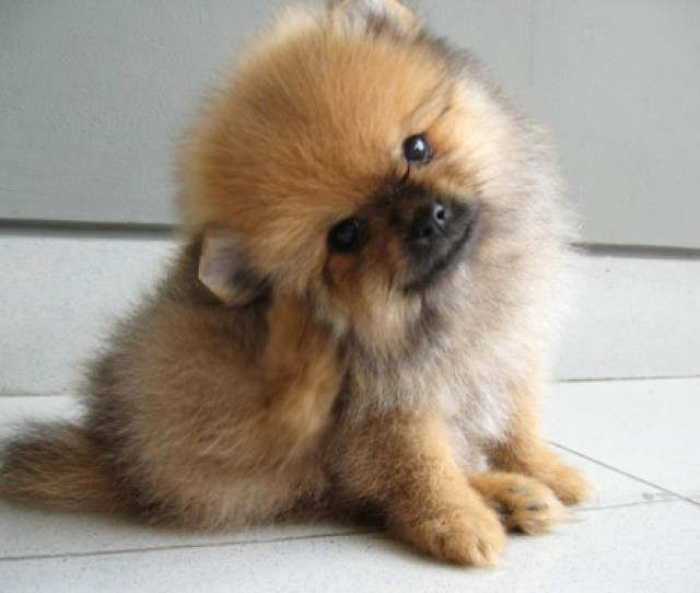 Happy Pomeranian Puppy