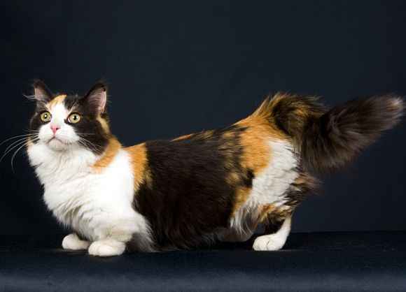 Cat Breeds With Short Legs Pictures Pets World
