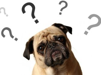 Pug question why people think dogs have a guilt look.