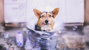 Shampoos with artificial fragrances must be avoided as these perfumes are derived from chemicals and lead to skin allergies as well as irritate the eyes. Image - dogsaholic.com