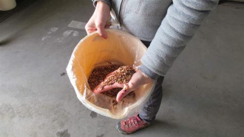 Douglas fir seeds