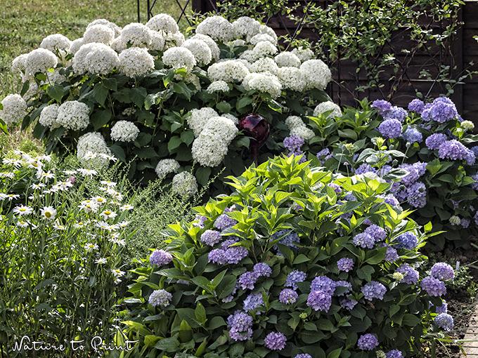 hortensien im pflanzk bel pflegen und sicher berwintern. Black Bedroom Furniture Sets. Home Design Ideas