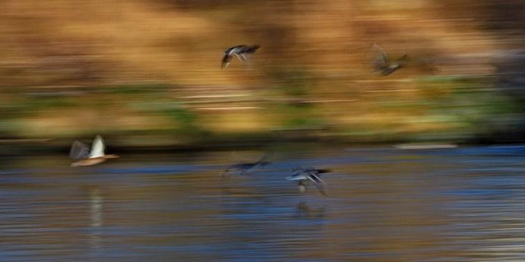 An der Traun: Fluss in Oberbayern: Enten über dem Fluss
