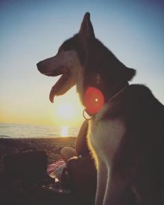 Husky am Meer bei Sonnenuntergang