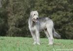 Irischer Wolfshund steht auf Wiese mit Wald im Hintergrund