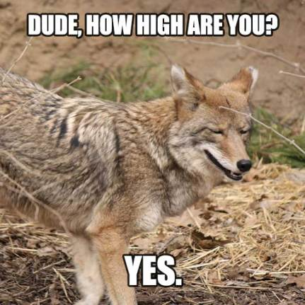 high coyote