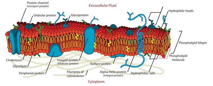 Diagram of a bacterial cytoplasmic membrane