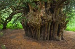 ankerwyke yew