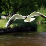 Black Headed Gull, River Eden - Phill Connell