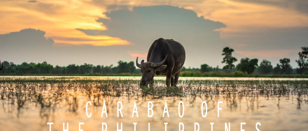carabao philippines farming heritage culture water buffalo