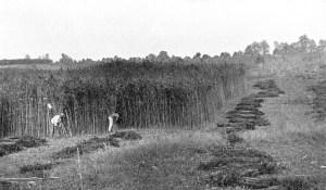 1900's Hemp Harvest