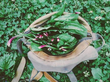 Gathering Wild Plantain for Salves