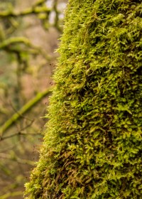 A close up of one of the moss covered trunks