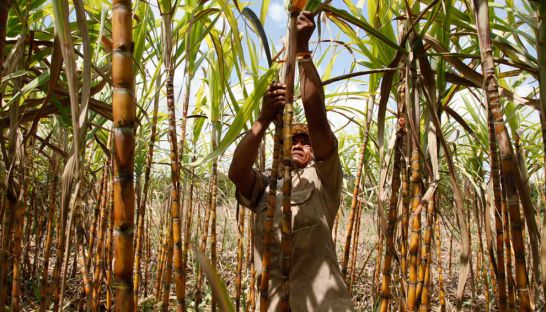 A man maintains crops in a sugarcane field in Kandal province's Saang district in 2011