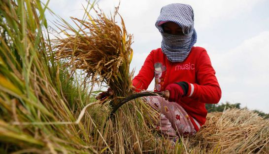 A labourer harvests rice in Kandal province's Prek Russey village