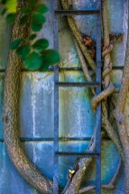 Conceptual – bittersweet vine climbs ladder of silo in a loving embrace