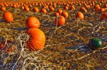 Natural – vines connecting ripe pumpkins in field