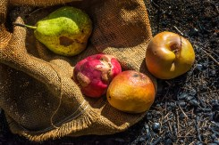 Conceptual – rotting fruit falling from burlap sack on parched ground