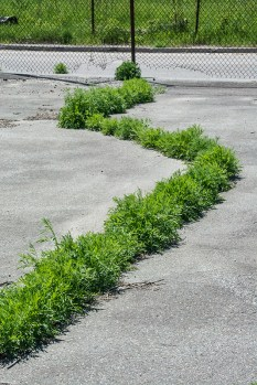 Conceptual – Serpentine line of weeds appear to escape from abandoned paved lot