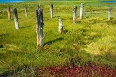 Man-Made – weathered wood pilings in a salt marsh - labor