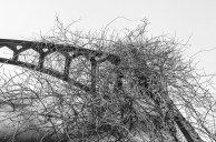 Black & White – abandoned steel bridge span covered with bittersweet vines