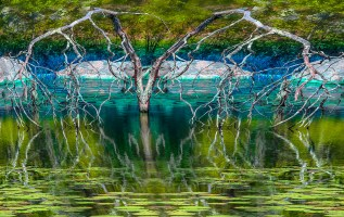 Fantasy – gnarled branches of off-symmetrical tree are reflected in a lily pad swamp