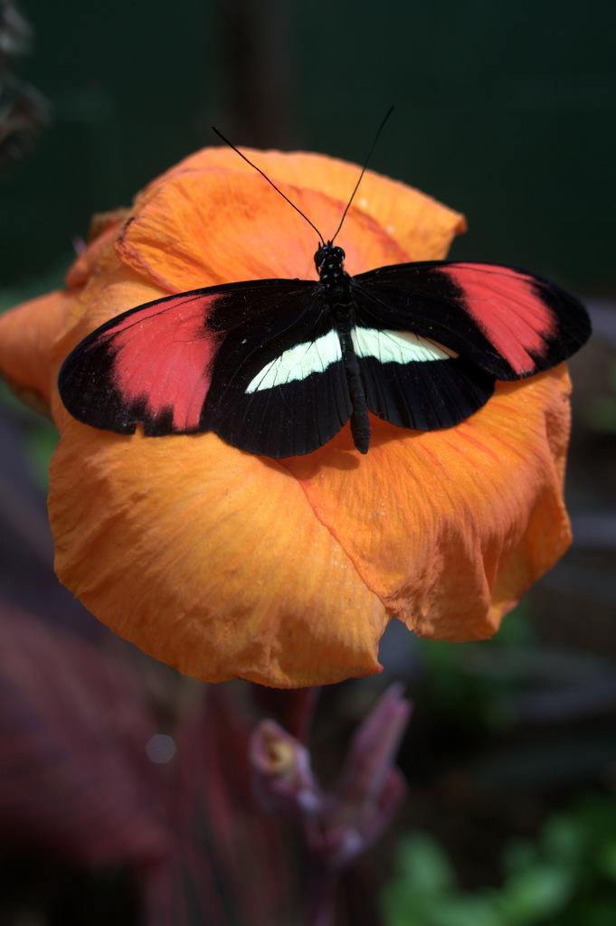 black red white butterfly scottsdale arizona butterfly wonderland