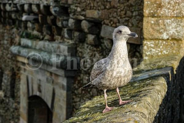 Jeune goéland sur les remparts de Saint-Malo