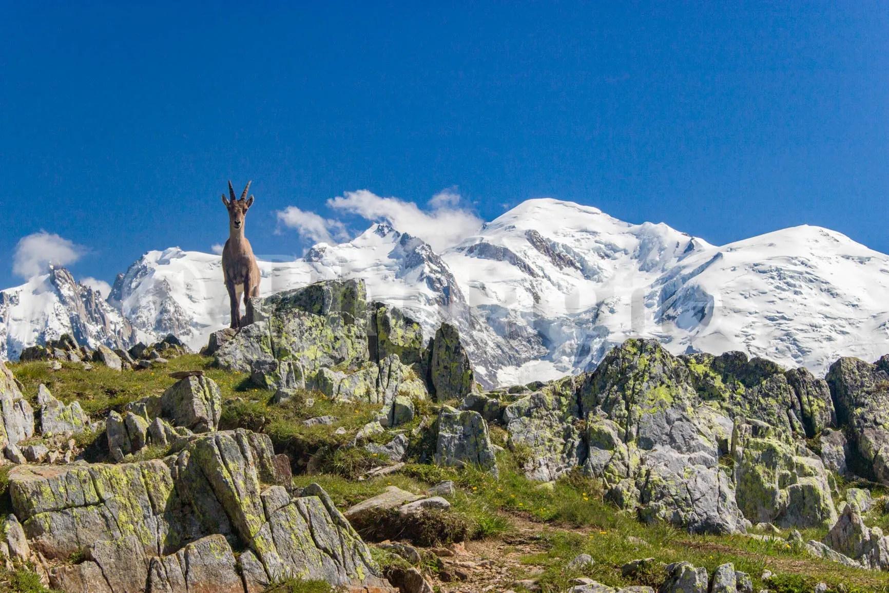 Bouquetin prenant la pose devant le Mont Blanc