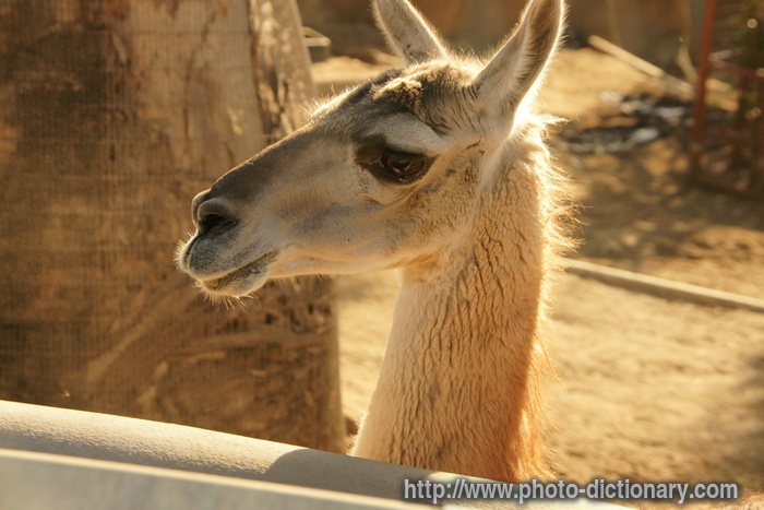 Guanaco Photopicture Definition At Photo Dictionary