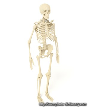 skeleton  photopicture definition at Photo Dictionary