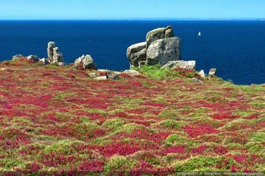 Chamsp de bruyères en fleurs face au bleu de l'océan Atlantique, photographiés sur le bord des falaises de Cap Sizun, dans le Finistère